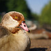 Egyptian goose in St James
