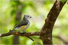 Tufted Titmouse (pinakin2in) Tags: tuftedtitmouse tufted titmouse songsbirds birds connecticutbirds smallest canon canongear