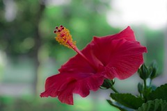 Hibiscus (NEO-Images (400,000 views!!)) Tags: hybiscus red
