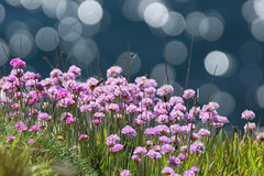 All that glitters! (SteveJM2009) Tags: sea seaside coast cliff sun light thrift bokeh colour beauty durlston dof focus dorset uk may 2017 stevemaskell explored
