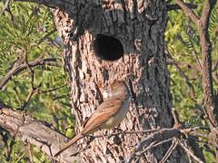Dusky-capped Flycatcher at nest (David Bygott) Tags: usa arizona ruby bird