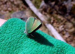 she/he tried to lay eggs on my green fleece (Lalallallala) Tags: vanhankaupunginlahti helsinki finland suomi nature outdoors butterfly
