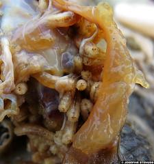 20150706_1 Adorable maggots in rotting corpse of European rabbit (Oryctolagus cuniculus) on pebble beach | Hoburgen, Gotland, Sweden (ratexla) Tags: ratexla'sgotlandtrip2015 gotland 6jul2015 2015 canonpowershotsx50hs hoburgen sweden sverige scandinavia scandinavian europe beautiful earth tellus photophotospicturepicturesimageimagesfotofotonbildbilder europaeuropean summer travel travelling traveling norden nordiccountries roadtrip journey vacation holiday semester resaresor landscape nature ontheroad sommar maggot maggots larva larvae larv larver insect insects nonhumananimal nonhumananimals animal animals cute cool organism life invertebrate invertebrates wildlife biology zoology insekt insekter djur ryggradslösadjur macro makro corpse corpses bokeh almostanything unlimitedphotos wild favorite fly flies fluga flugor fluglarv fluglarver