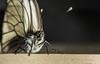 Aporia (Wasilewski365) Tags: aporia crataegi butterfly photography nature 70d canon portrait