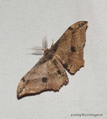 Hyposidra infixaria (Walker,1860) Geometridae Ennominae (LennyWorthington) Tags: hyposidrainfixariawalker 1860