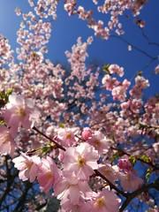 Cherry Tree Blossom (pvanhala) Tags: cherry tree blossom flower city colors pink sky spring sun