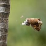 Central American Pygmy-Owl thumbnail