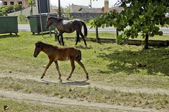 O_Potrinho_04 (Parchen) Tags: potro potrinho cavalo praia rua filhote equus equuscaballus nomecientífico cavalosderua soltos livres foto fotografia imagem registro parchen carlosparchen