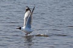 Brown-headed gull_Chroicocephalus brunnicephalus_Bhandup_April 2017 2 (Shubhada Nikharge) Tags: bird bhanduppumpingstation bhandup brownheadedgull chroicocephalusbrunnicephalus