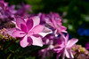 _DSC5264 (sayo-tsu) Tags: hydrangea 紫陽花 アジサイ saitama sattecity gongendopark 権現堂