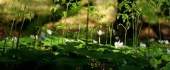 Green spring (irene.holmen) Tags: spring season woods forest skog skogplanter bregne grønn grønt nature color coloures flowers plants botany fern green gjøkesyre oxalisacetosella skogplante urt botanikk gaukesyre colors vår vårfarger utpåtur skogstur