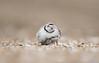 Piping Plover (Weiguo Jiang) Tags: pipingplover sandyhookgatewaynra pipingploverchick newjersey nikond810 nikonafsnikkor800mmf56efledvr weiguojiang