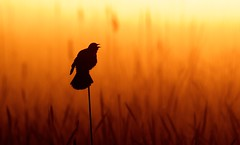 Greeting the Morning (imageClear) Tags: sunrise morning red dawn saturated color bird redwingedblackbird nature wildlife cattails marsh horiconmarsh beauty lovely orange singing birdsong sun sunny contrast aperture nikon d500 80400mm imageclear flickr photostream