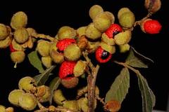 Alectryon tomentosus (andreas lambrianides) Tags: alectryontomentosus sapindaceae hairybirdseye nepheliumtomentosum australianflora australiannativeplants australianrainforests australianrainforestplants australianrainforestfruits arfp qldrfp nswrfp subtropicalarf arffs