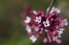 PowerBall (tealaeves) Tags: pink lilacs dof pnw inw washington spokane flowers bokeh