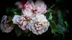 Garden.... (christilou1) Tags: sony a7rii fe85 14 gm flowers garden england backlighting mastin blooms roses