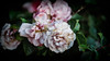 Garden.... (christilou1) Tags: sony a7rii fe85 14 gm flowers garden england backlighting mastin blooms roses