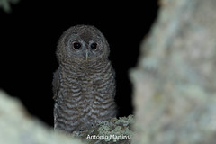 _H2A9448.jpg (AMPMartins) Tags: aves avesportugal corujadomato