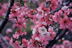 (Honey Bfly) Tags: nikond60 sakura cherryblossom japan japon flores flowers primavera spring
