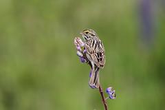 Savannah Sparrow on Lupine (brian.bemmels) Tags: passerculussandwichensis passerculus sandwichensis savannahsparrow savannah sparrow richmond bc britishcolumbia canada bird songbird lupine lupinus canon 5dmarkiii ef100400mmf4556lisiiusm garrypoint