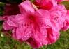 Inner Beauty (Mïk) Tags: rhododendron rhodies mikeyworld myneighborhood flowers blooms blossums plants