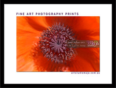 Digital-Art-Prints-Framed-DSC_2638 (fatima_suljagic) Tags: flowers fineartprints fatimasuljagicmelbourne framed prints artstudiomaja melbourne nature naturephotographer
