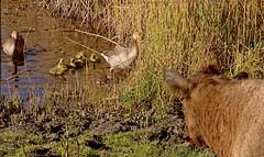Is it safe? (Breboen) Tags: explore cow goose landing chicks secure fence birds animals ekeren antwerpen schoonbroek putten young mud water look watch spring nature offspring