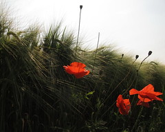 three poppies in the light (ma.ri_na) Tags: papaveri poppies controluce canong12