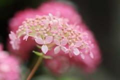 ajisai (* Yumi *) Tags: ajisai hydrangea flower pink 紫陽花 アジサイ アナベル ピンク