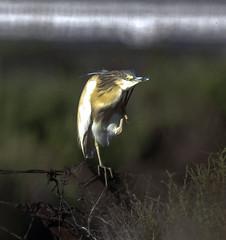 Garcilla cangrajera  -  Ardeola ralloides (ibzsierra) Tags: ibiza eivissa baleares canon 7d 100400isusm garcillacangrejera ave bird oiseau salinas parque natural
