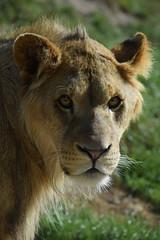 African lion @ ZooParc Overloon 05-10-2016 (Maxime de Boer) Tags: co dirk ed fred sam pieter julius max african lion afrikaanse leeuw panthera leo big cats katachtigen zooparc zoo parc animals dieren dierentuin gods creation schepping