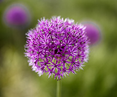 Allium (Man with Red Eyes) Tags: allium garden flower puple 3 threeofakind hasselblad h1 80mmf28hc p45 phaseone captureone v10 mediumformat mfd lancashire northwest closeup 13mmring