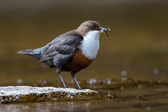 Dipper (Simon Stobart) Tags: dipper cinclus water insects river northeast england coth5 ngc npc