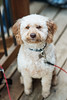 170329_001PS (alathia0907) Tags: 2017 chewie goldendoodle
