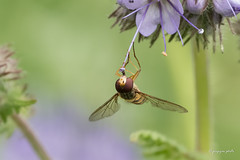 Hoverfly (Jongejan) Tags: hoverfly insect macro nature zweefvlieg
