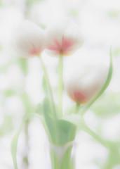daydream tulips (Hal Halli....happy everything!!) Tags: tulips spring floral flowers wallart decor sharingart
