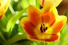*** (pszcz9) Tags: przyroda nature natura kwiat flower zbliżenie closeup bokeh wiosna spring tulipan tulip sony a77