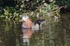 Mandarin duck (James Oliver Lewis) Tags: mandarin duck herefordshire river wye mordiford riverwye nature d3200 nikon mandarinduck