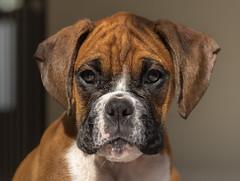 Let me take a selfie (Felix Vila) Tags: dog perro cachorro puppy pet mascota boxer