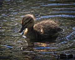 The Cutie (MrBlueSky*) Tags: mallard duck bird waterfoul animal nature outdoor aquaticbird water kewgardens royalbotanicgardens london aficionados pentax pentaxart pentaxlife pentaxk1 pentaxawards pentaxflickraward