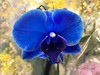 blue bleu azul (✿ Graça Vargas ✿) Tags: orchid flower orquidea falenópsis graçavargas ©2017graçavargasallrightsreserved blue phalaenopsisxhybridus macro iphone appleiphone6 30614140717