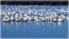 Oies Blanches / Snow Geese (dan.sochirca) Tags: oiesblanches snowgeese baiedufebvre quebec