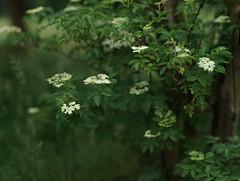 Sambucus (Amselchen) Tags: bokehpanorama bokeh blur dof depthoffield plants blossom flower season earlysummer sony samyang alpha7 85mmf14