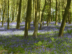 Bluebell heaven (Lancashire Lass :) :) :)) Tags: bluebells explore read readhallestate nature countryside woods readpark sunshine shadow dappledlight trees fern ribblevalley lancashire may