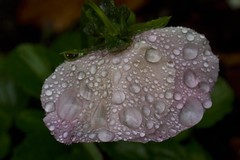 Rain on Pink Pansy (brucetopher) Tags: rain raindrop drop droplet nature flora wet water bead beading color droplets raining damp moist pink flower spring pansy droop drooping droopy bent wilt heavy facedown sad weather pattern natural texture