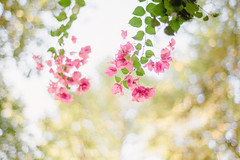 Looking up (ninasclicks) Tags: flowers bougainvillea pink green bokeh dof nature