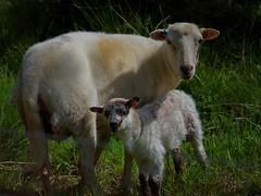 1398-34L (Lozarithm) Tags: pentax zoom k50 55300 hdpda55300mmf458edwr hillspools sheep justpentax
