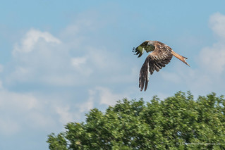 Red Kite Swerve