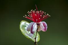 Feijoa flower (Acca sellowiana) (PriscillaBurcher) Tags: accasellowiana guayabadelbrasil guayabodelbrasil feijoa fruta frutos fruit pineappleguava guavasteen guava flordelafeijoa feijoaflowers floweringtrees dsc8503