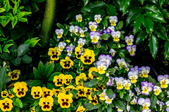 Group of face's. (Omygodtom) Tags: outdoors street flickr flower pansy outside tamron tamron90mm natural nature nikkor nikon 7dwf naturelovers d7100 contrast colorful composition